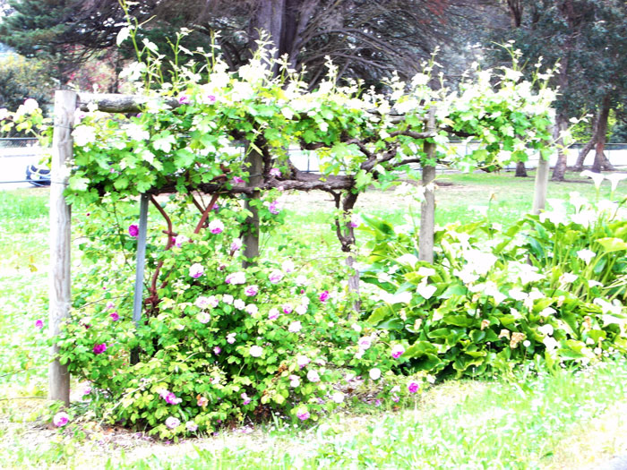 andrew ross museum stevensons grapes