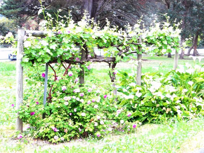 andrew ross museum stevensons grapes